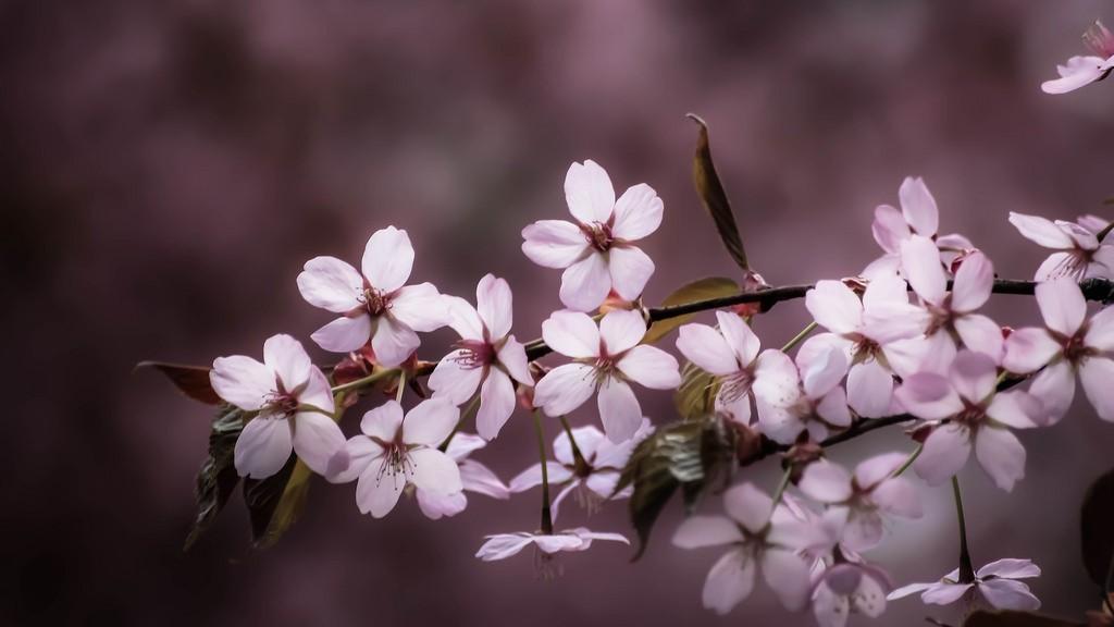 Pink blossom (Explore 2014-05-09)